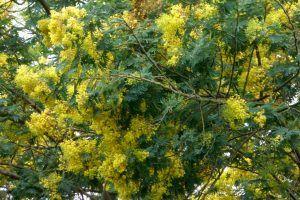 Acacia Negra