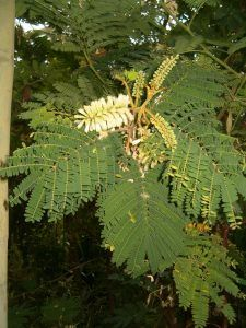 Acacia Plumosa