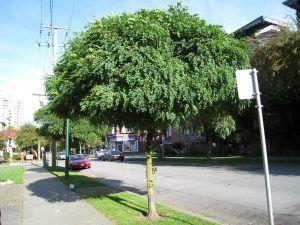 Acacia de Bola