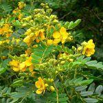 Acacia de las Indias: [Características, Cuidados, Siembra y Problemas]