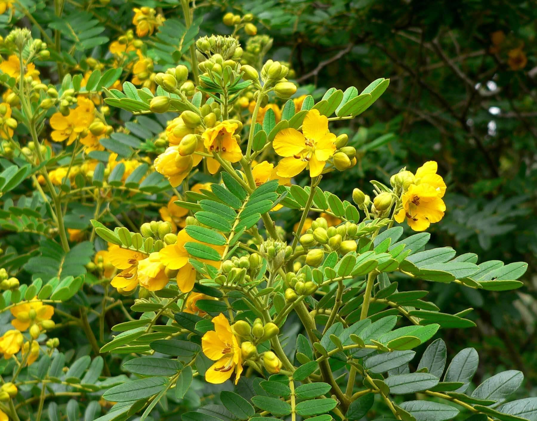 Acacia de las indias