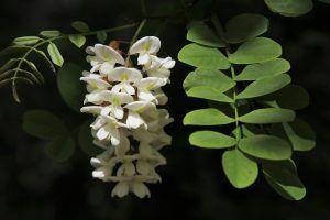 Cómo y porqué podar la acacia blanca