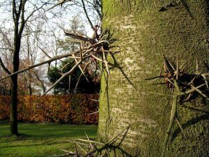 Cómo y porqué podar la acacia de tres espinas
