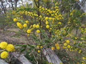 Cómo y porqué podar la acacia espinosa