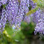 Acacia Azul: [Características, Cuidados, Siembra y Problemas]