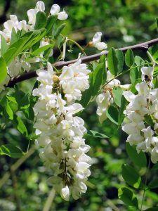 Qué características tiene la acacia blanca