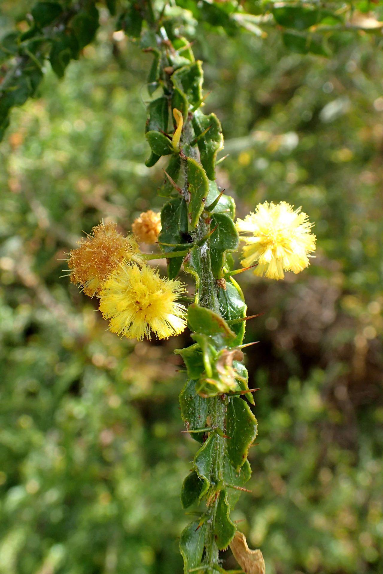 Qué características tiene la acacia espinosa