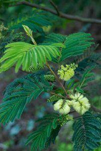 Qué características tiene la acacia plumosa