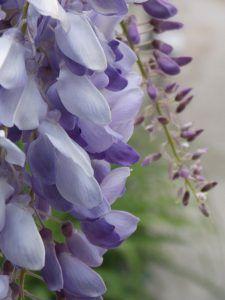 Qué plagas y enfermedades afectan a la acacia azul