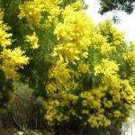 Acacia Negra: [Características, Cuidados, Siembra y Problemas]