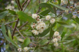 Qué significado tiene la acacia australiana