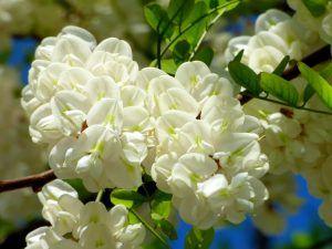 Qué significado tiene la acacia blanca