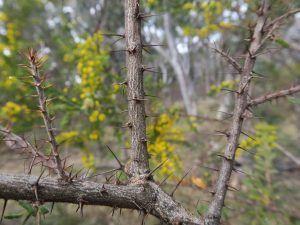 Qué significado tiene la acacia espinosa