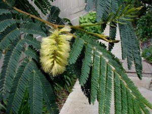 Qué significado tiene la acacia plumosa