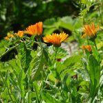 Plantas Antimosquitos: [Características, Variedades, Cuidados y Usos]